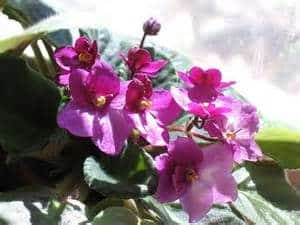 african_violets_2