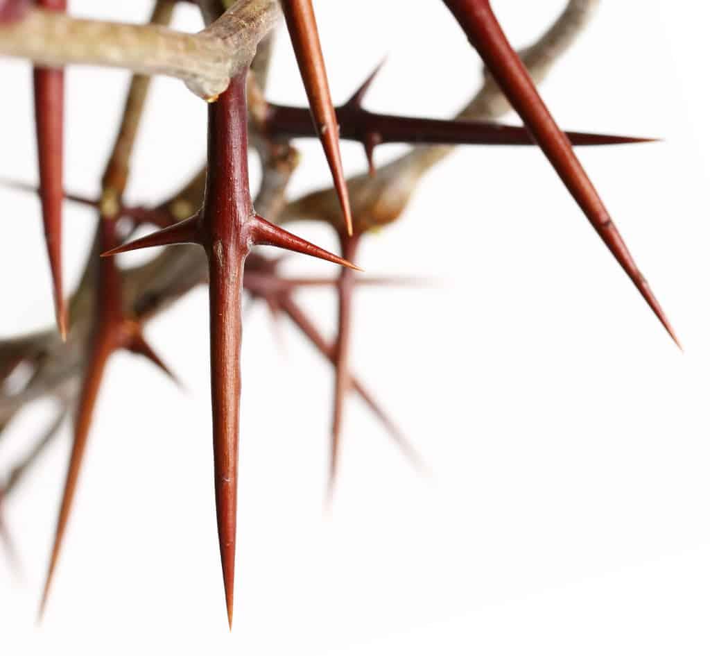 thorn-homily